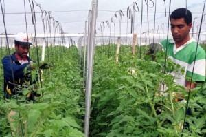 Gemüsezüchtung